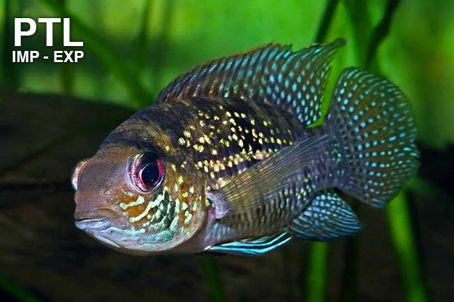 Piranha Tropical Life Ingrosso Pesci Tropicali - Online Store